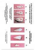 Morfologie dentara